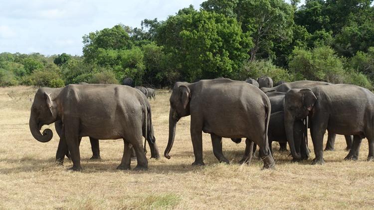 Wild elephants in Sri Lanka by Lori Zaino