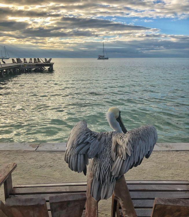 Pelican in Caye Caulkner