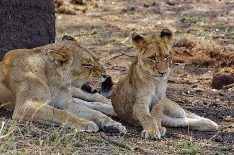 LIONS IN KRUGER NATIONAL PARK BY LORI ZAINO
